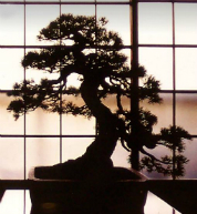 bonzai display